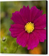 Pink Cosmos 3 Canvas Print by Roger Snyder