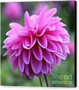 Pink Dahlia Closeup Canvas Print
