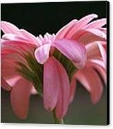 Pink Daisy 1 Canvas Print