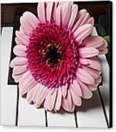 Pink Mum On Piano Keys Canvas Print
