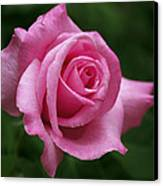 Pink Rose Perfection Canvas Print by Rona Black