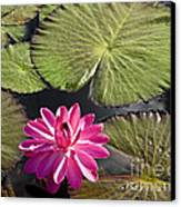 Pink Water Lily II Canvas Print by Heiko Koehrer-Wagner