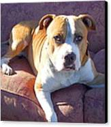 Pitbull On A Couch Canvas Print by Ritmo Boxer Designs
