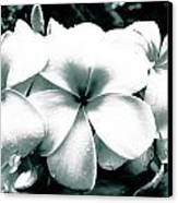 Plumeria Bunch No Color Canvas Print by Lisa Cortez