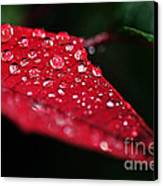 Poinsettia Leaf With Water Droplets Canvas Print