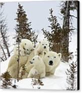Polar Bear Ursus Maritimus Mother And Cubs Canvas Print