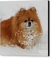 Pomeranian In Snow Canvas Print by John Shaw