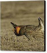 Prairie Chicken-9 Canvas Print by Thomas Young