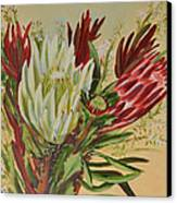 Protea Bunch Canvas Print