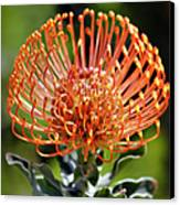 Protea - One Of The Oldest Flowers On Earth Canvas Print by Christine Till