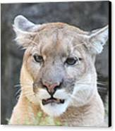 Puma Head Shot Canvas Print by John Telfer