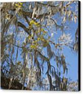 Pure Florida - Spanish Moss Canvas Print by Christine Till