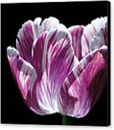 Purple And White Marbled Tulip Canvas Print by Rona Black
