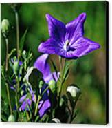 Purple Balloon Flower Canvas Print