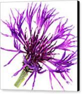 Purple Cornflower Canvas Print by Jo Ann Snover
