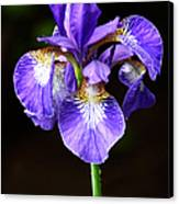 Purple Iris Canvas Print by Adam Romanowicz