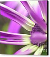 Purple Senetti I Canvas Print by Cate Schafer