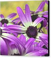 Purple Senetti IIi Canvas Print by Cate Schafer