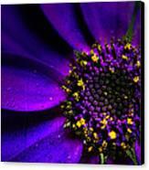 Purple Senetti In Macro Canvas Print by Rosanna Zavanaiu