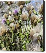 Purple Thistle Canvas Print by Gerald Murray Photography