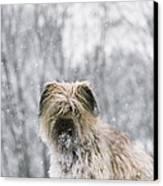 Pyrenean Shepherd Dog Canvas Print
