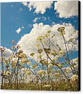 Queen Anne Lace And Sky Canvas Print by Jenny Rainbow
