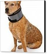 Queensland Heeler Dog Wearing A Neck Brace Canvas Print by Susan Schmitz