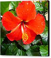 Rain Kissed Hibiscus Beauty Canvas Print by Ella Char