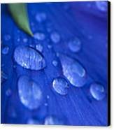 Raindrop Pansy Canvas Print by Anne Gilbert