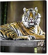 Ranu The Sumatran Tiger Canvas Print by Shannon Rogers