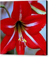 Red And White Lilly Canvas Print by Debra Forand