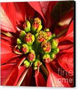 Red And White Poinsettia Flower Canvas Print by Catherine Sherman