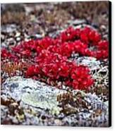 Red Bearberry Canvas Print by Chris Heitstuman