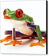Red-eye Tree Frog 1 Canvas Print
