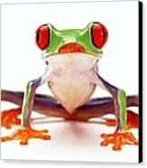 Red-eye Tree Frog 2 Canvas Print by Lanjee Chee
