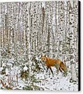 Red Fox In Birches Canvas Print