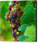 Red Grapes Canvas Print by Hannes Cmarits