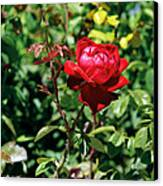 Red Rose. Canvas Print