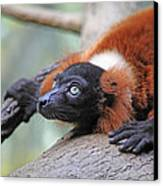 Red-ruffed Lemur Canvas Print by Karol Livote