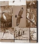 Red-shouldered Hawk Poster - Sepia Canvas Print by Carol Groenen