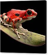 Red Strawberry Poison Dart Frog Canvas Print by Dirk Ercken