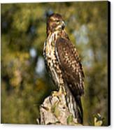 Red Tailed Hawk 1 Canvas Print