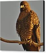 Red-tailed Hawk Rufous-morphed Canvas Print by Sara Edens