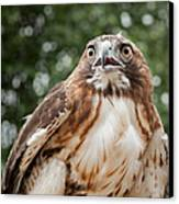 Red-tailed Hawk Square Canvas Print by Bill Wakeley