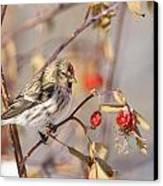 Redpoll In The Rose Bush Canvas Print