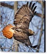 Redtail Hawk Square Canvas Print by Bill Wakeley