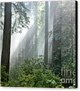 Redwood Forest With Sunbeams Canvas Print