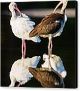 Reflection Of Two Young Ibis Canvas Print