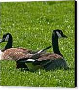 Resting Geese Canvas Print by John Holloway