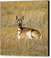 Resting Pronghorn Canvas Print by Sarah Crites
